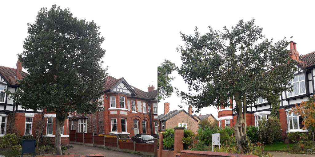 Protected tree before and after extensive unauthorised works